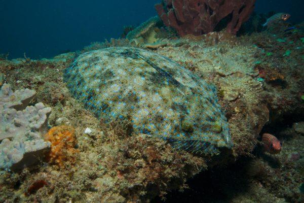peacock flounder